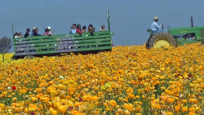 carlsbad-flower-fields20145